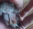 rectal prolapse of bird caused by gastroenteritis