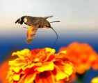 Hummingbird Hawk-moth-1