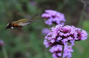 Hummingbird Hawk-moth-2