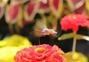 Hummingbird Hawk-moth-3