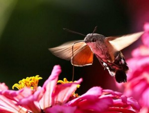 Hummingbird Hawk-moth-4