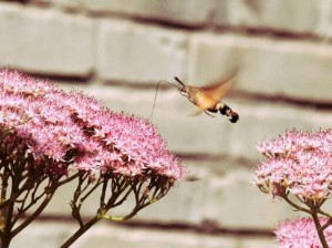 Hummingbird Hawk-moth-5