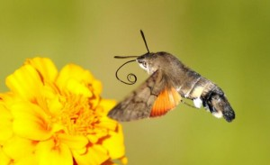 Hummingbird Hawk-moth-6