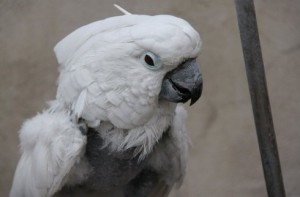 The parrot get depressed to bit off its feathers because his companion has gone
