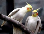 the sex of cockatiel
